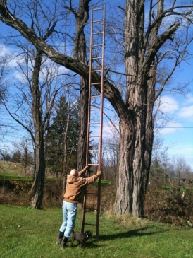 Giant Locust trees in our yard pose a challenge (photo: Crossroads Homestead)