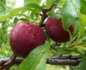 Homesteading Basics: Orchard Fruit Varieties